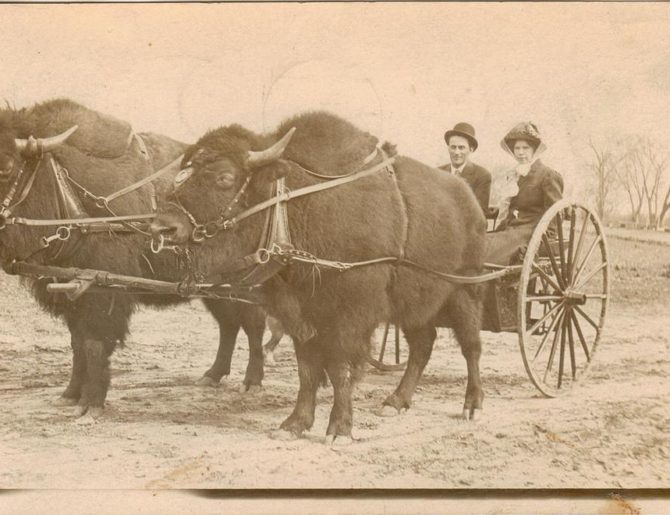 Bison-drawn carriage in Sioux Falls, South Dakota, 1900s