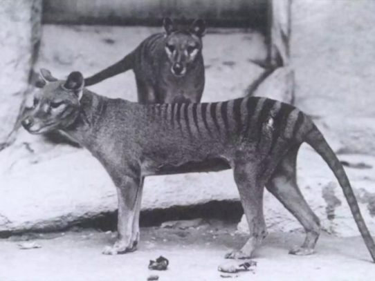 Extinct Tasmanian wolf