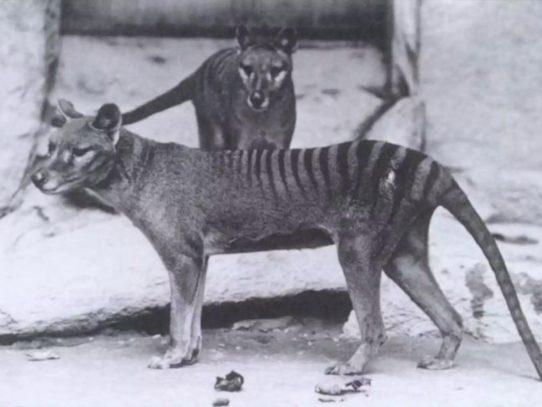 Extinct Tasmanian wolf