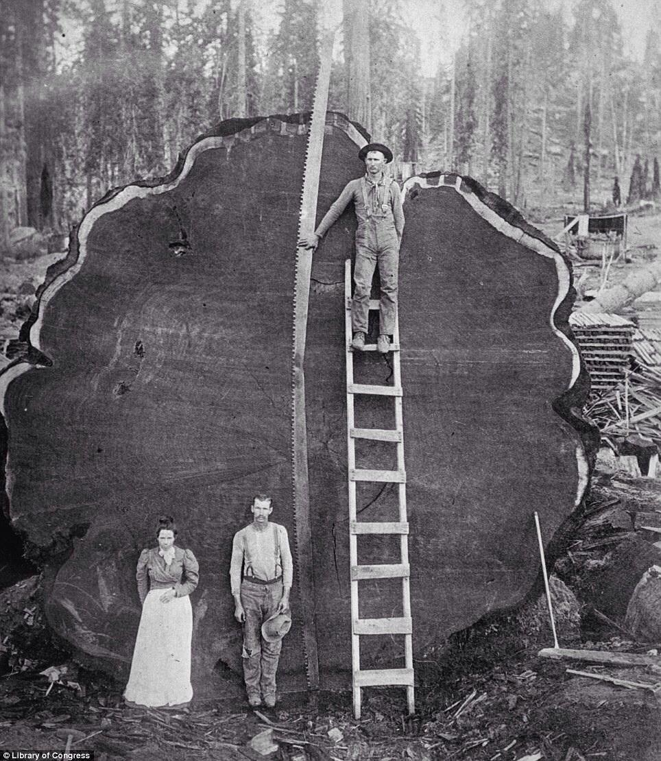 Unique vintage photo of lumberjacks, posing near recently cut giant sequoia