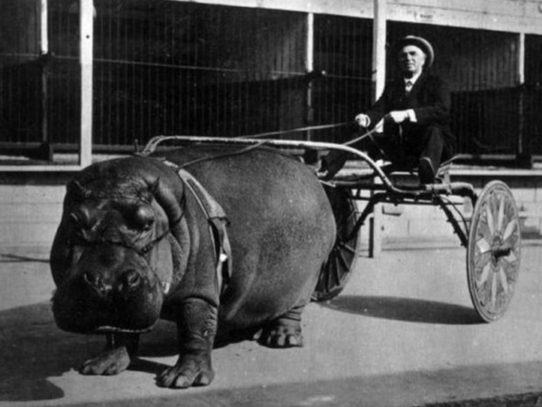 A circus hippopotamus, harnessed to a wagon, 1924