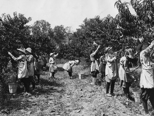 Farmerettes harvesting a peach crop during WWI