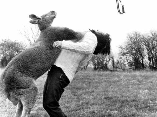 Kangaroo punches a photographer, England, 1961