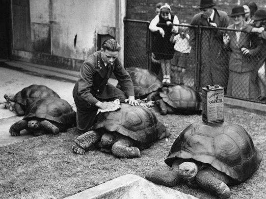 Polishing Turtle Shells, London Zoo, 1930s
