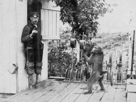 The signalman baboon, South Africa, 1880s.