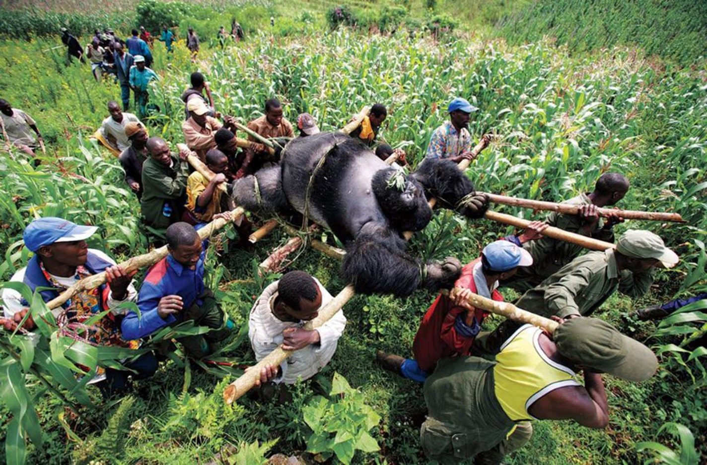history photo Gorilla in the Congo, Brent Stirton, 2007
