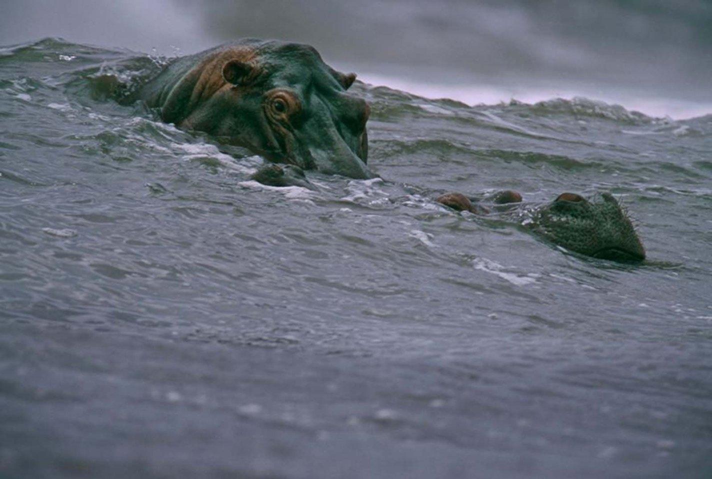 Surfing Hippos, Michael Nichols, 2000
