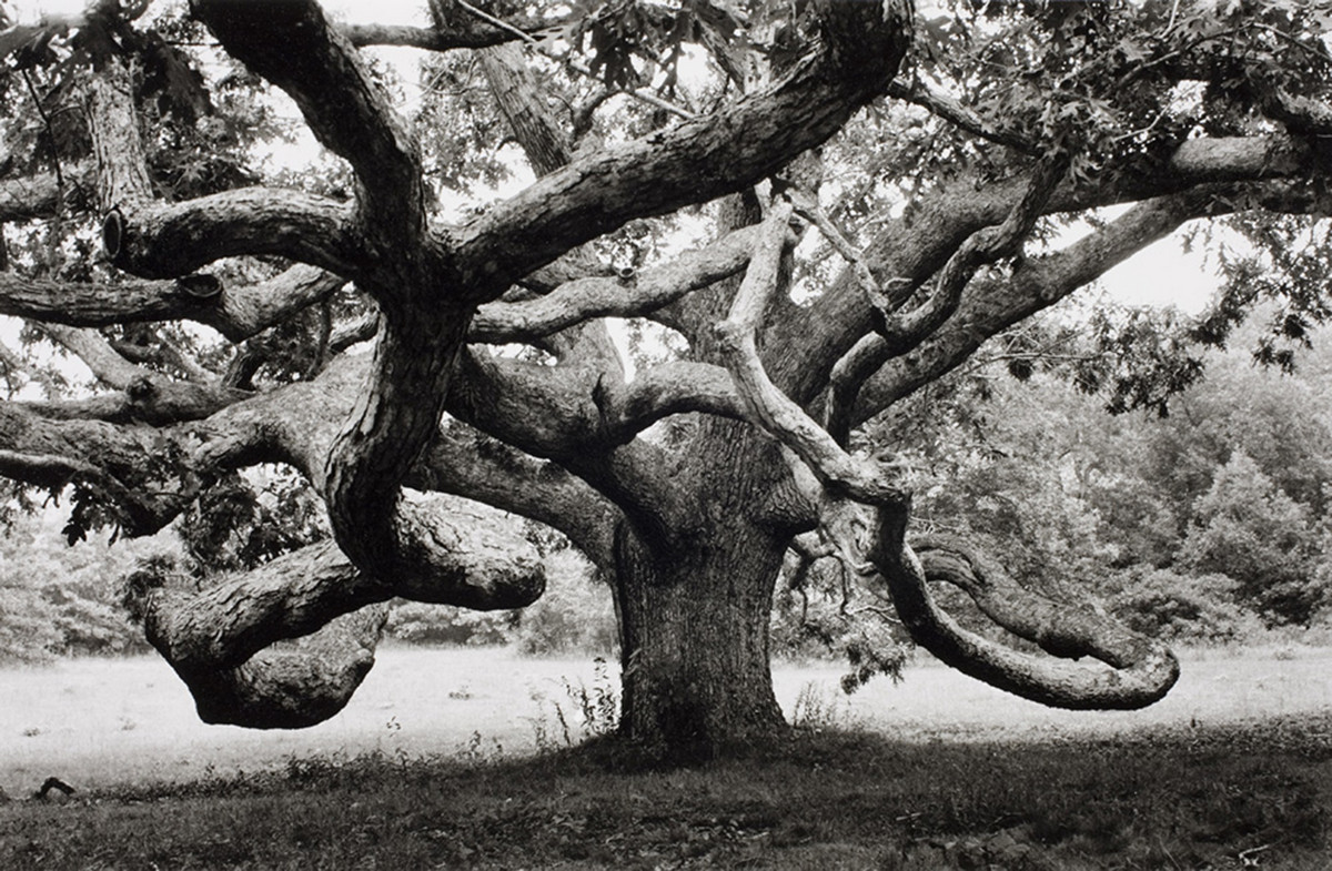 A gigantic oak tree in Tisbury, Massachusetts, USA, 1968.