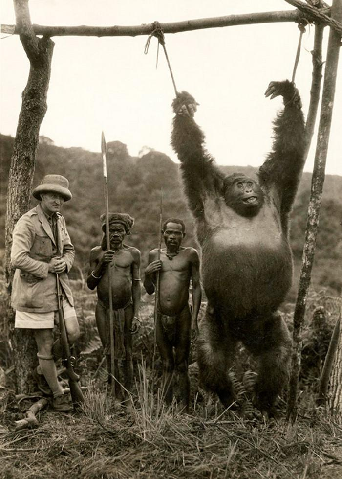 Italian traveler Attilio Gatti with two hired pygmies and a gorilla caught by them in the Belgian Congo, 1930
