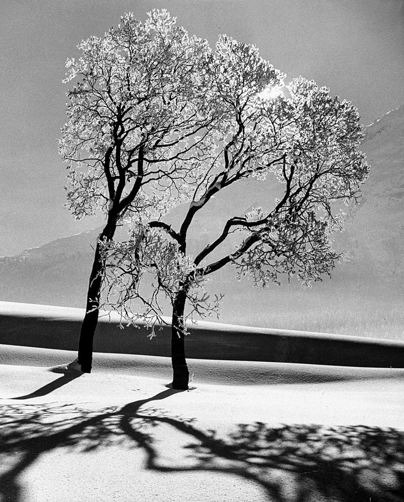 Trees in the snow, St. Moritz, 1947.