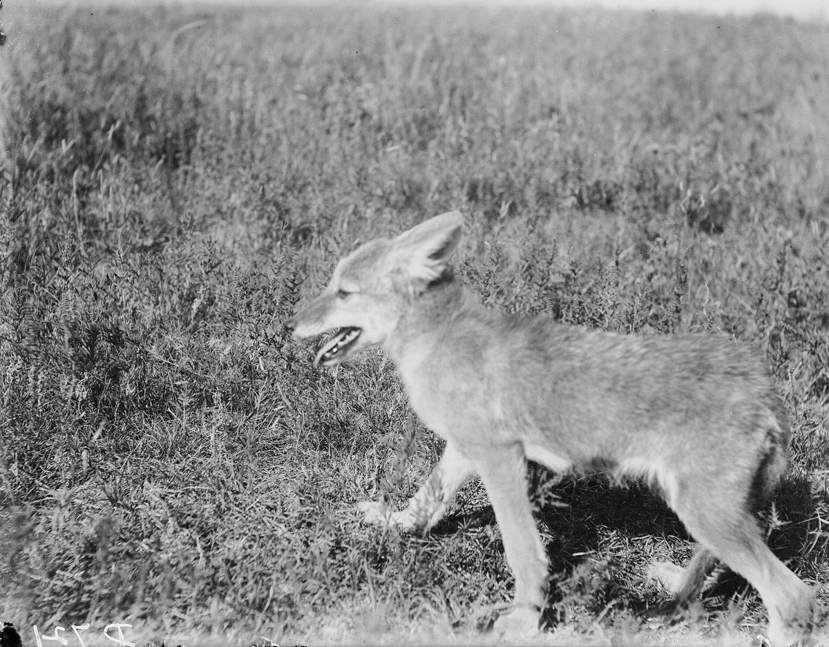 Young coyote, 1900.