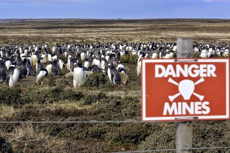 falkland island minefield penguins