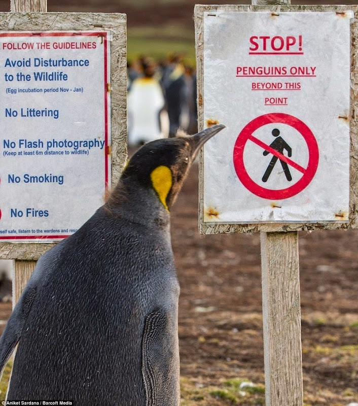 Penguin reading the sign falkland island minefield