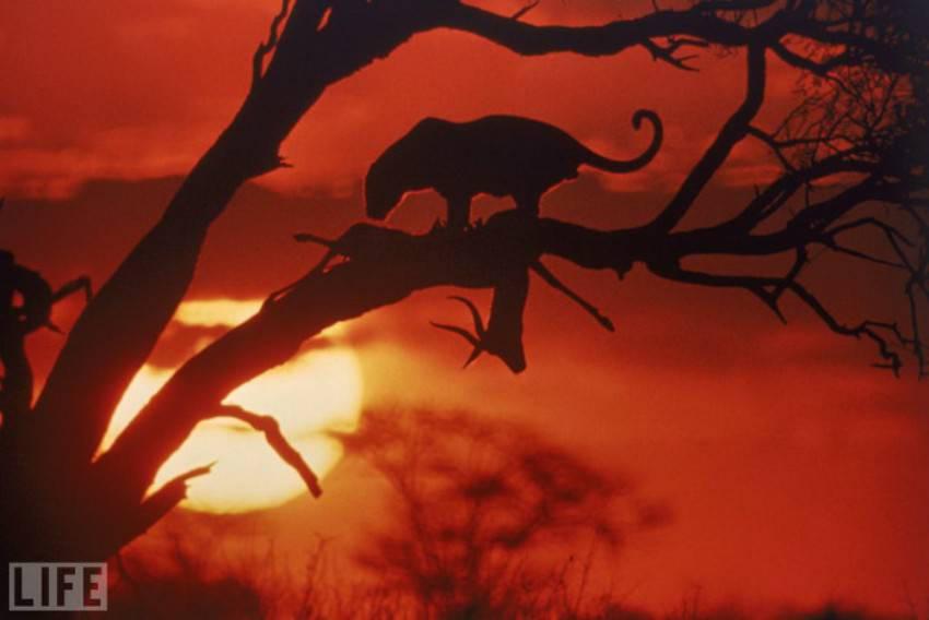 A Leopard's Kill