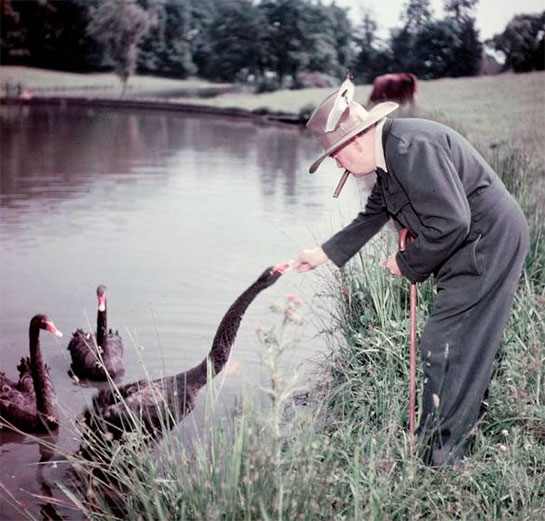 Black Swans are a gift to Churchill from the Government of Western Australia (the bird is a state symbol). Chartwell, 1950.